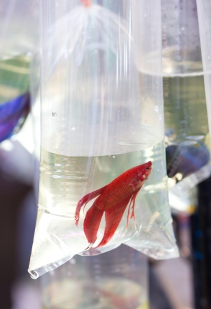 Red fighting fish in oxygen plastic tube. Stock Photo - 20510011