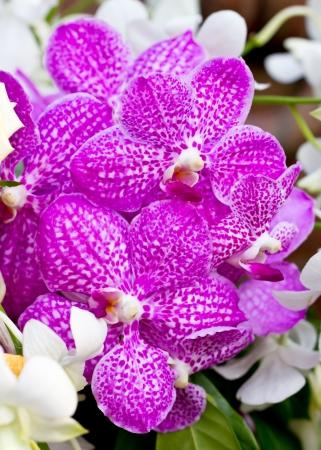 vanda: Purple vanda orchid.