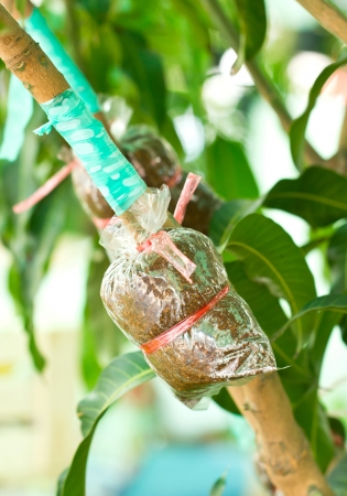 transplants: Plant mango trees transplants or grafting method.