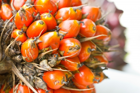 red palm oil: Palm fruit close up.