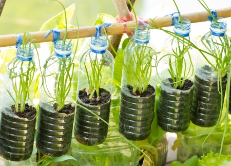 green recycling: Spring onion grow in used water bottle, vegetables plant for urban life.