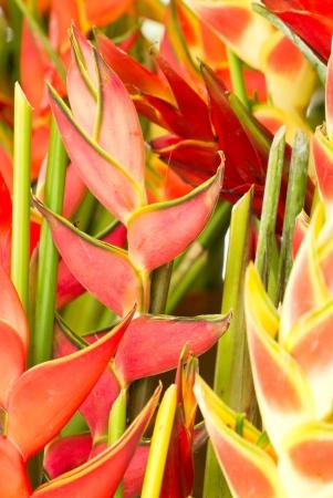 bloom bird of paradise: Many Heliconias flowers. Stock Photo