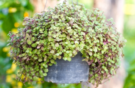 inch: Callisia Repens, Turtle Vine or  Inch Plant potted plant. Stock Photo