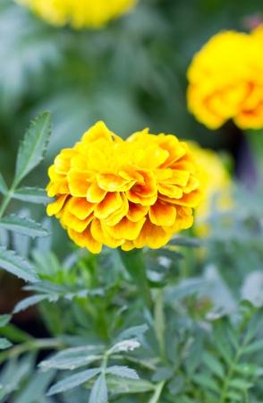 patula: French marigold flower  Tagetes patula L