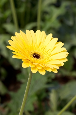 brilliance: Yellow gerbera flower  Brilliance   Stock Photo