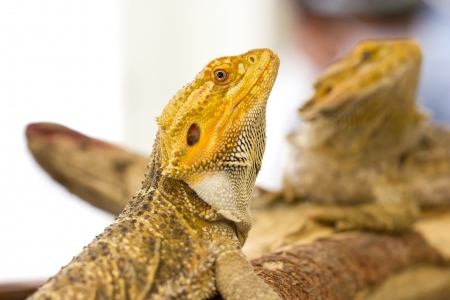 Close up of Bearded dragon  photo