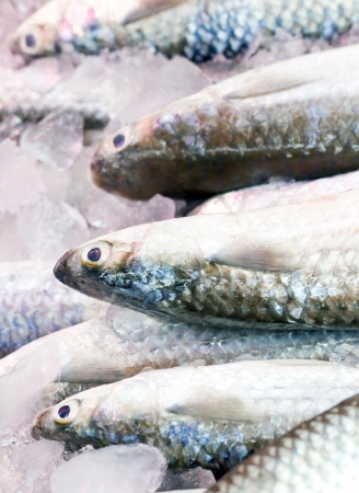 grey mullet: Gray Mullet fishes
