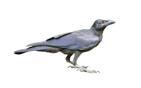 Young black crow on the ground
