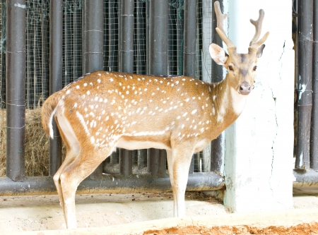 axis deer: Chital, Cheetal, Spotted deer or Axis deer in the zoo  Stock Photo