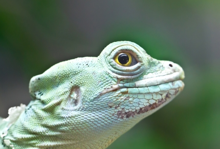 Portrait of green basilisk lizard  photo