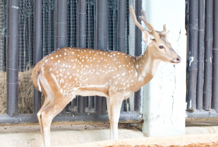 Chital, Cheetal, Spotted deer or Axis deer in the zoo  photo
