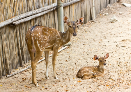 axis deer: Mother and baby  Chital, Cheetal, Spotted deer or Axis deer in the zoo