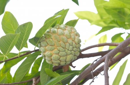 annona squamosa: Custard apple fruit, Annona squamosa  Stock Photo