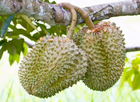 Raw Durian Fruit on Tree Stalk  photo