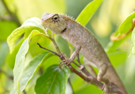frilled: Lizard on tree