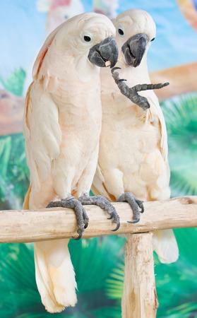 cockatoos: Due cacatua prendendo piede Perch. Archivio Fotografico