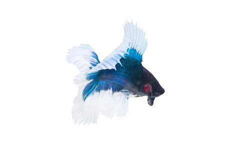 Betta Fish Or Fighting Fish (Half Moon Double Tail) Isolated On White Background Stock Photo