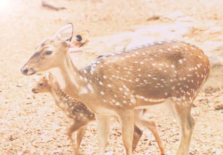 Spotted Deer, Axis Deer (Axis axis), In Zoo Park.