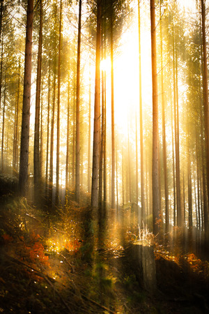 The bright and warm sunlight in the deep forest in the north of Sweden Фото со стока