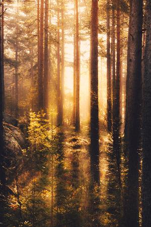 Warm sunlight lighting up the dark forest Фото со стока - 29162654