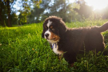 sennenhund: Cute dog puppy of Berner sennenhund Stock Photo