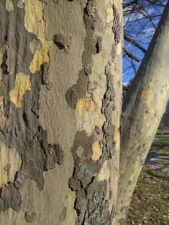 sicomoro: Sunlit tronco d'albero di sicomoro primo piano
