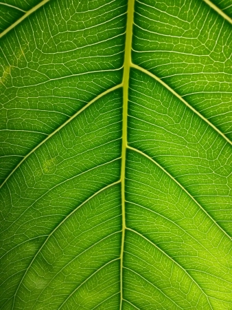 veiny: Bright green leaf under sunlight