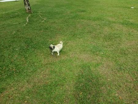 fetch: Pug playing fetch