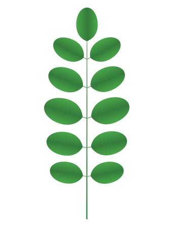 langosta: Acacia rama