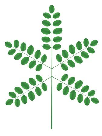acacia: Acacia twig Illustration