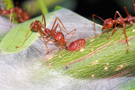 aphid: Ant eat a drop of a sweet from aphid Stock Photo