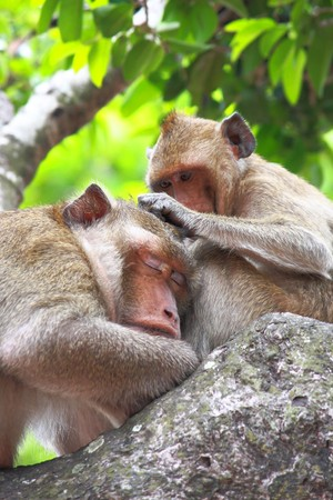 Monkey is finding flea from the other monkeys hair