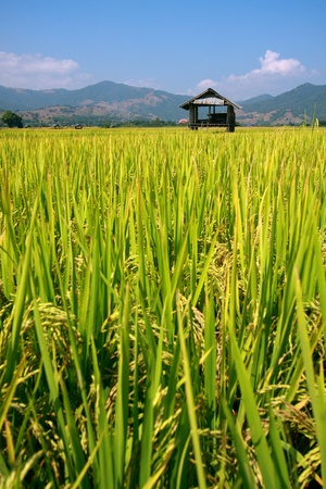 Hut and rice field in nature with blue sky photo