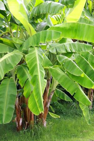 Banana tree plantation in nature with daylight Stock Photo
