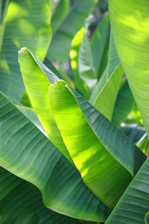 green Banana leaf in nature with daylight photo
