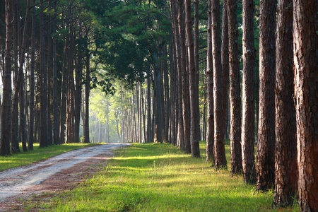 pathway with pine tree pattern on sideway with sunlight in the morning Stock Photo - 8800959