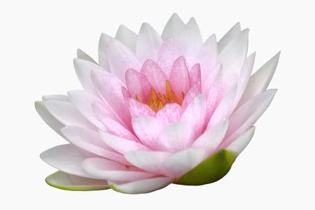 flor de loto: rosado nenúfar aislado sobre fondo blanco