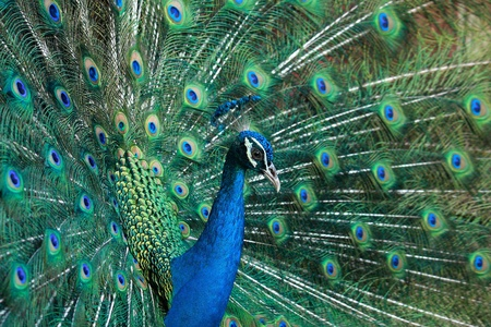 sideview of beautiful peacock showing colorful tail Stock Photo