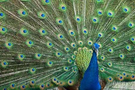 frontview of beautiful peacock showing colorful tail Stock Photo