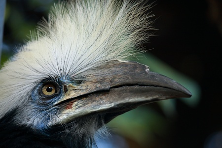 angle view of White crowned Hornbill bird head shot
