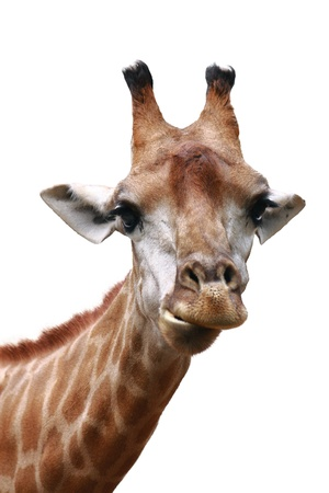 frontview giraffe face isolated on white background Standard-Bild