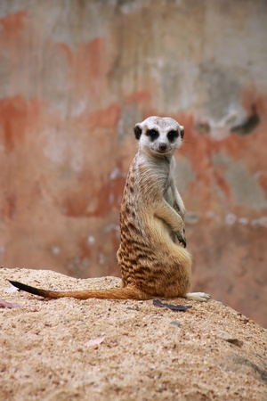 eyecontact: meerkat is standing and turn head back with eyecontact Stock Photo
