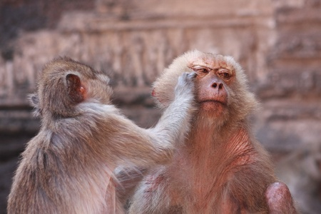 fleas: Monkey is finding flea from the other monkey Stock Photo