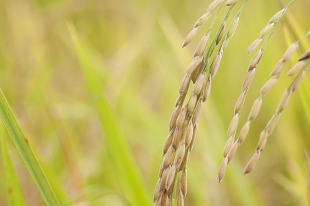 rice in nature field, ready for harvest Stock Photo - 13148813