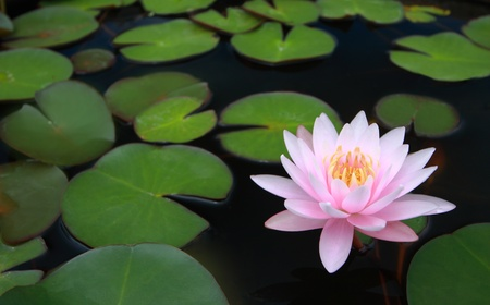 water lily, lotus in nature Standard-Bild