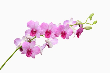 orchid and bud branch isolated on white background