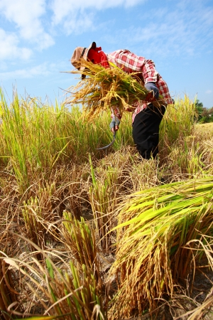 Farmer harvesting rice field by sickle Stock Photo