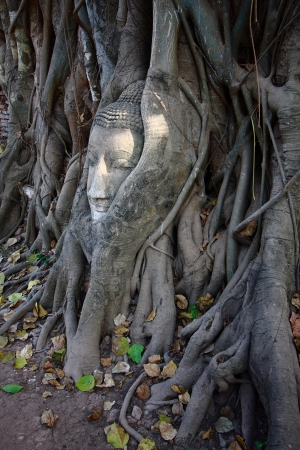 Buddhas head in banyan tree roots with little of sunlight area on head photo