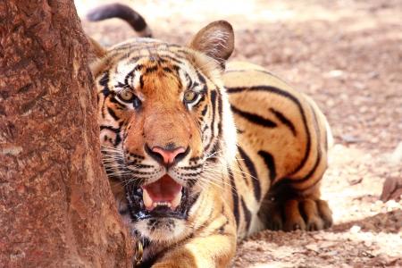 awe: Awe tiger is lying behind a tree