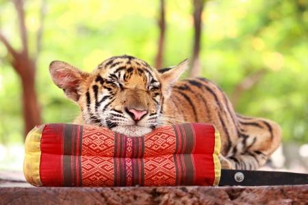 baby tiger: Uomo tigre dorme sul cuscino thai